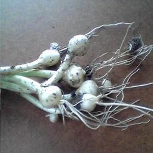 野蒜_鱗茎