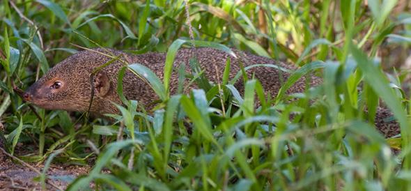 マングースが本土繁殖?目撃情報、鹿児島県が調査へ