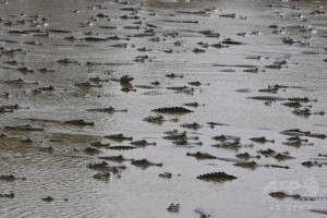 少ない水域に多くのワニが集まる