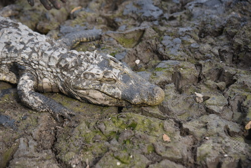 干ばつで河川が渇水、数千匹のワニが危機に パラグアイ