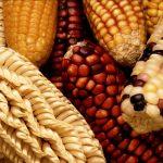 遺伝子組み換え食品の表示見直しに関して
