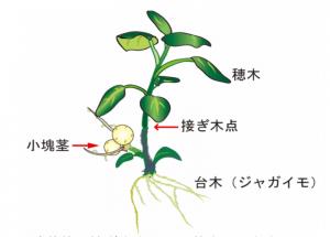 穂木と台木の接ぎ木を利用した新しい手法(プレスリリースより)