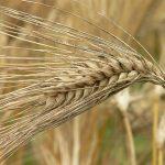 問題となったシリアルの原料の大麦