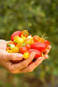 遺伝子編集トマトも作られつつある